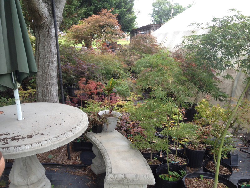 Bill Butler Exceptional Japanese Maple Grower