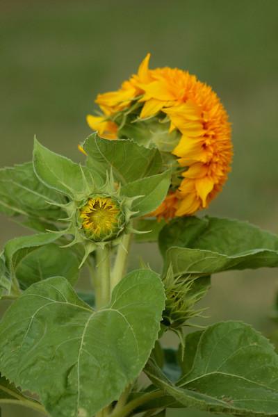 Teddy Bear Sunflowers, SO FLUFFY!