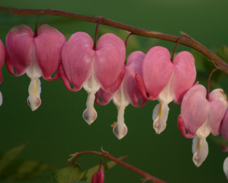 Bleeding Heart blooming in Precious Blood's gardens.