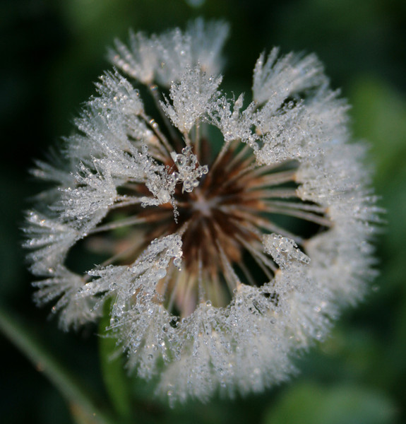 Dandelion with dew on it.