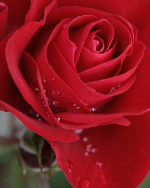 Red Rose after the rain.