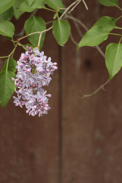 Lilac, I love the smell of these.