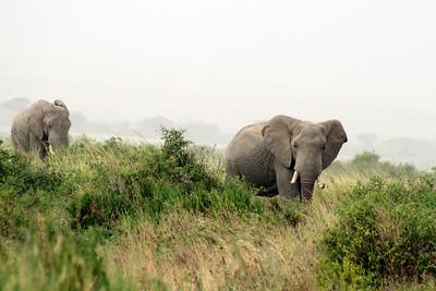 Elephants 001