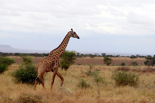 Kenya 2013: Amboseli Safari