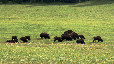 Buffalo grazing on the way to the North Rim