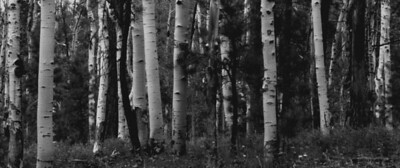 White birch trees on the way to the Grand Canyon