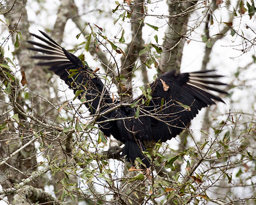 Vulture landing in a tree