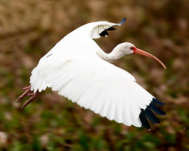 A White Ibis takes flight.
