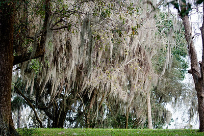 Dense Spanish Moss in the trees around the swamp