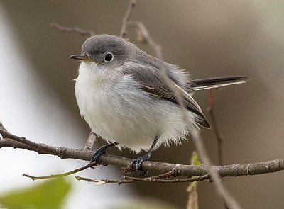 A Bluegray Gnatcatcher says hello.