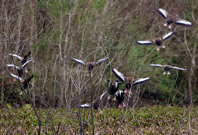 11 Black-bellied Whistling Ducks fly off into the brush.