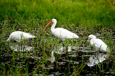 Two White Ibis and a Snowy Egret forage in the swamp.