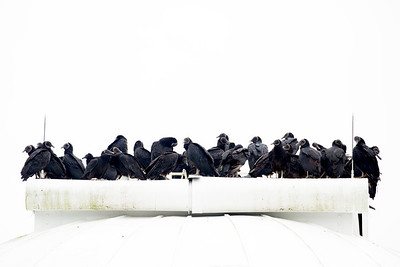 Black Vultures crown the Observatory.
