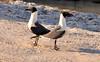 Pair of Laughing Gulls Larus atricilla on the Florida coast (3)