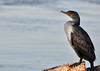 Double-crested Cormorant immature Phalacrocorax auritus on Florida coast