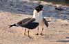 Pair of Laughing Gulls Larus atricilla on the Florida coast