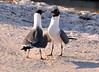 Pair of Laughing Gulls Larus atricilla on the Florida coast (2)