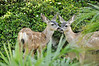 Fawns in the brush between Pepperdine dormitories (1).