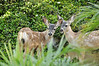 Fawns in the brush between Pepperdine dormitories (2).