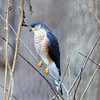 Sharp-Shinned Hawk 2