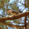 Red-Bellied Woodpecker 1
