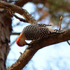 Red-Bellied Woodpecker 2