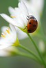 Seven-Spotted Ladybird On White 3