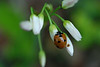 Seven-Spotted Ladybird On White 1