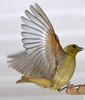 Lesser Goldfinch Female