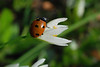 Seven-Spotted Ladybird On White 4