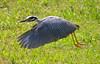 Yellow-Crowned Heron Flight 2