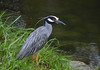Yellow-Crowned Heron On The Bank 1