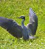 Yellow-Crowned Heron Flight 5