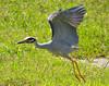 Yellow-Crowned Heron Flight 1
