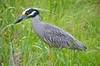Yellow-Crowned Heron In Grass