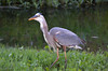 HERON HUNT: Swallowing 2