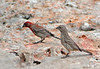 Finches On Limestone