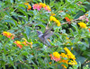 Hummingbird At Lantana