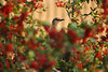 Mockingbird Among Berries