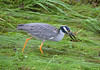 Yellow-Crowned Heron Hunting