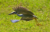 Yellow-Crowned Heron Flight 3