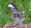 Mockingbird Chick 2