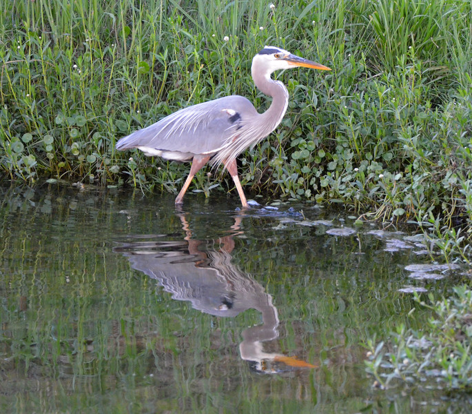 HERON HUNT: Back To Hunting