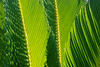 Cycad Patterns