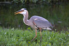 HERON HUNT: Swallowing 1