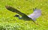 Yellow-Crowned Heron Flight 4