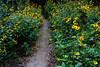 Gilded Garden Path (2)... wildflowers line a walking path in St. Edwards Park, Austin