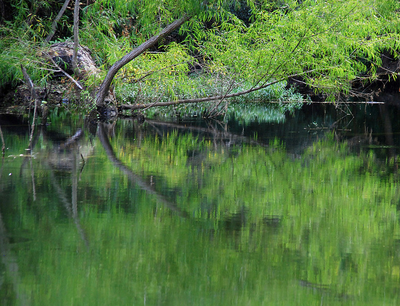 Reflected Tree at the Edge of Bull Creek in Austin