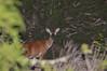 Surprised Deer