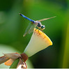Dragonfly's Drum